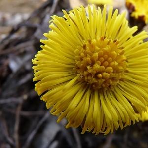 Photographie n°17079 du taxon Tussilago farfara L.