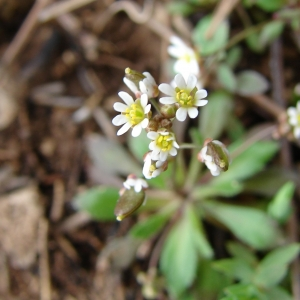 Photographie n°17083 du taxon Erophila verna (L.) Chevall. [1827]