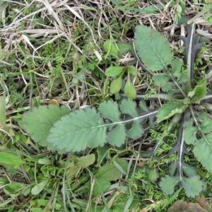 Photographie n°17239 du taxon Knautia integrifolia (L.) Bertol. [1836]