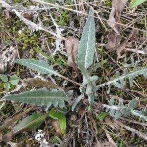 Photographie n°17240 du taxon Leuzea conifera (L.) DC. [1805]
