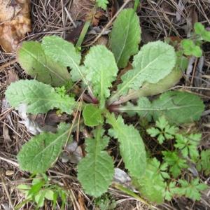 Photographie n°17257 du taxon Urospermum picroides (L.) Scop. ex F.W.Schmidt [1795]