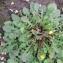 Bertrand BUI - Crepis sancta subsp. nemausensis (Vill.) Babc. [1941]