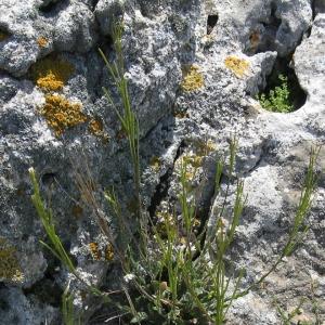 Photographie n°17300 du taxon Arabis collina Ten. [1815]