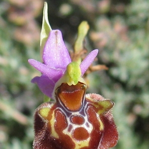 Photographie n°17333 du taxon Ophrys fuciflora (F.W.Schmidt) Moench [1802]