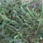 Bertrand BUI - Dactylis glomerata subsp. hispanica (Roth) Nyman [1882]