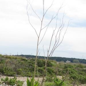 Photographie n°17355 du taxon Lepidium latifolium L.