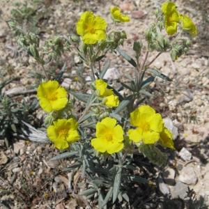Photographie n°17384 du taxon Helianthemum syriacum (Jacq.) Dum.Cours. [1802]