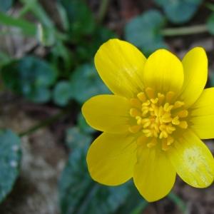 Photographie n°17403 du taxon Ranunculus ficaria L.