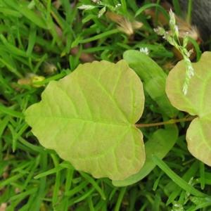 Photographie n°17406 du taxon Acer platanoides L.