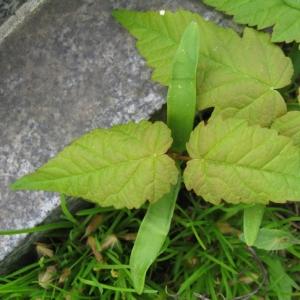Photographie n°17407 du taxon Acer pseudoplatanus L.