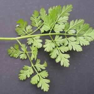 Photographie n°17438 du taxon Anthriscus sylvestris (L.) Hoffm.