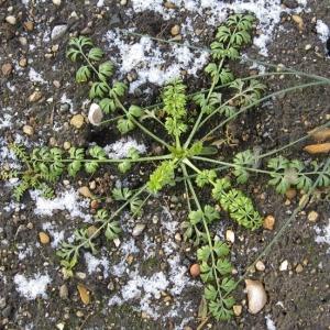 Photographie n°17446 du taxon Nigella damascena L. [1753]