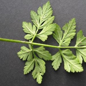 Photographie n°17454 du taxon Chaerophyllum temulum L. [1753]