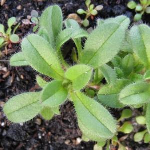 Photographie n°17464 du taxon Cerastium glomeratum Thuill.
