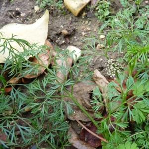 Photographie n°17468 du taxon Cyclospermum leptophyllum (Pers.) Sprague ex Britton & Wilson [1925]