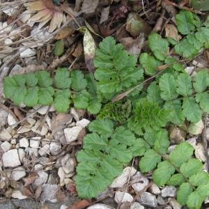 Photographie n°17476 du taxon Erodium moschatum (L.) L'Hér. [1789]