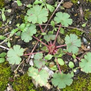 Photographie n°17480 du taxon Geranium rotundifolium L. [1753]