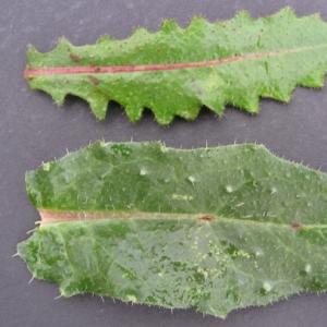Photographie n°17492 du taxon Picris echioides L.