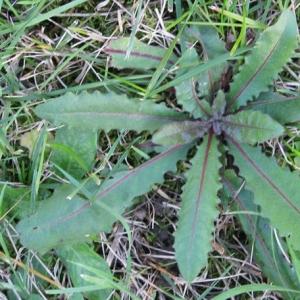 Photographie n°17493 du taxon Picris hieracioides L.