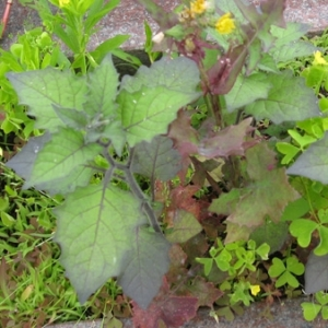 Photographie n°17506 du taxon Solanum nigrum L.