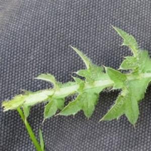 Photographie n°17507 du taxon Sonchus asper (L.) Hill