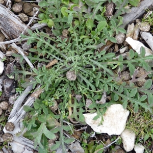 Photographie n°17574 du taxon Centaurea paniculata L.