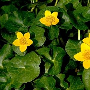 Photographie n°17591 du taxon Caltha palustris L.