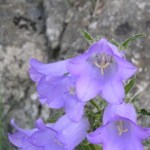 Campanula speciosa Pourr. (Campanule à belles fleurs)