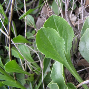 Photographie n°17681 du taxon Globularia vulgaris L.