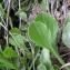 Andrine Faure - Globularia vulgaris L.