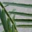 Bertrand BUI - Euphorbia serrata L. [1753]