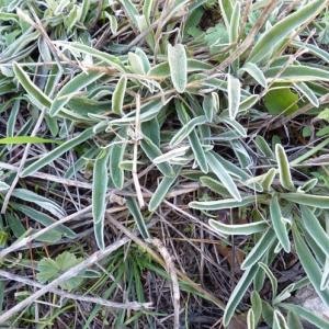 Photographie n°17719 du taxon Phlomis lychnitis L.
