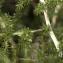 Jean-Pascal Milcent - Asparagus acutifolius L. [1753]