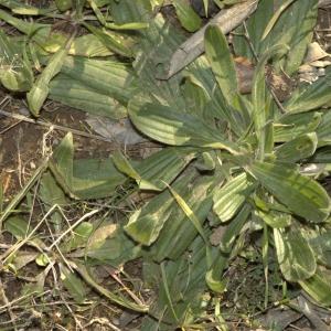 Photographie n°17753 du taxon Plantago L. [1753]
