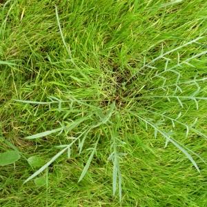 Photographie n°17779 du taxon Scorzonera laciniata L.