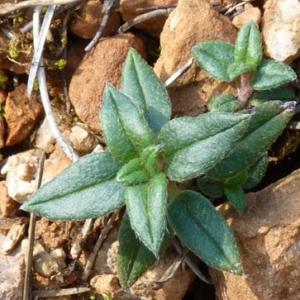 Photographie n°17799 du taxon Helianthemum marifolium (L.) Mill. [1768]