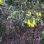 Andrine Faure - Coronilla valentina subsp. glauca (L.) Batt. [1889]