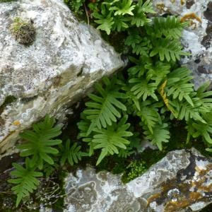 Photographie n°17816 du taxon Polypodium cambricum L.