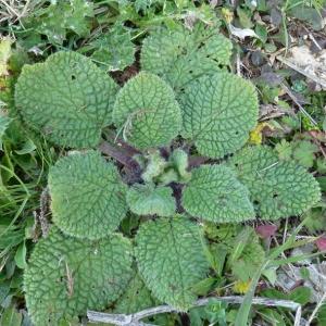 Photographie n°17820 du taxon Borago officinalis L. [1753]