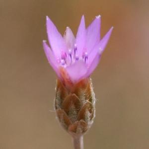 Xeranthemum cylindraceum Sm. (Xéranthème cylindracé)