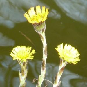 Photographie n°17895 du taxon Tussilago farfara L.