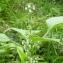 Bertrand BUI - Perilla frutescens (L.) Britton