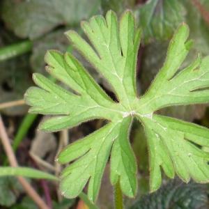 Photographie n°17916 du taxon Geranium dissectum L.