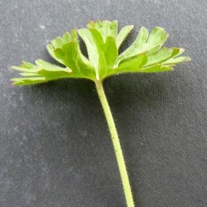 Photographie n°17918 du taxon Geranium dissectum L.