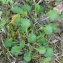 Bertrand BUI - Leucanthemum vulgare Lam. [1779]