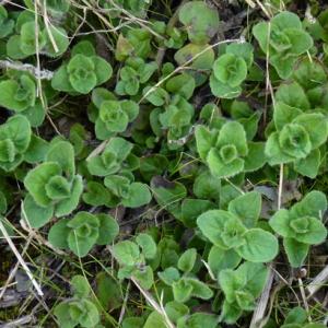 Photographie n°17924 du taxon Origanum vulgare L. [1753]