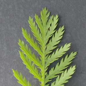 Photographie n°17926 du taxon Tanacetum vulgare L. [1753]