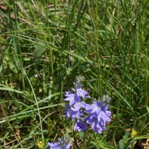 Photographie n°17978 du taxon Veronica austriaca L.