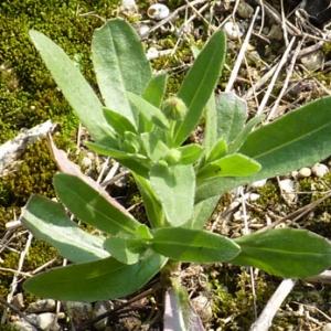 Photographie n°17986 du taxon Calendula officinalis L.
