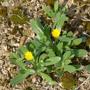 Photographie n°17987 du taxon Calendula officinalis L.